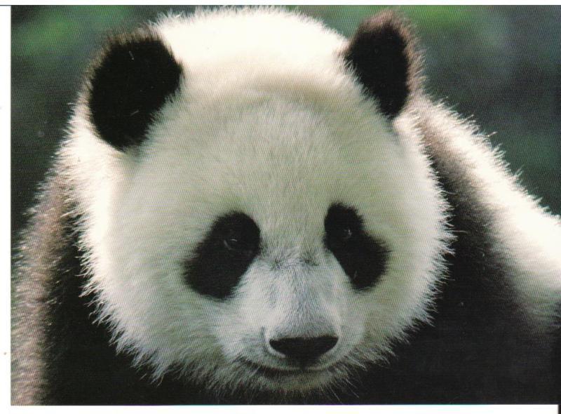 le panda g ant le pont des pruniers. Black Bedroom Furniture Sets. Home Design Ideas