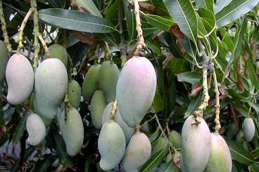 faire pousser mangue