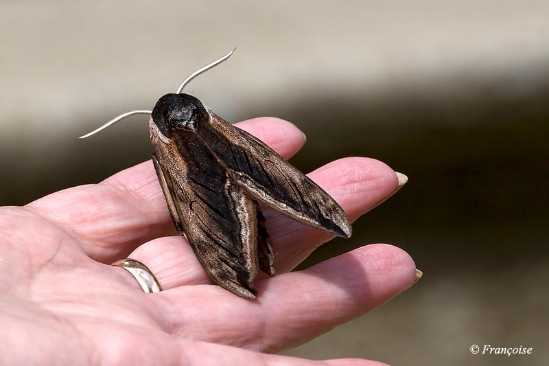 Sur toutes les coutures chez fran oise - Gros papillon de nuit dangereux ...