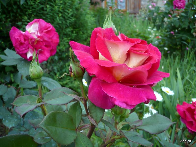 le parfum des fleurs du jardin le blog de titanique. Black Bedroom Furniture Sets. Home Design Ideas