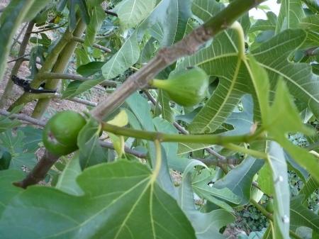 Les fruits grossissent le blog de titanique - Quand cueillir les figues ...