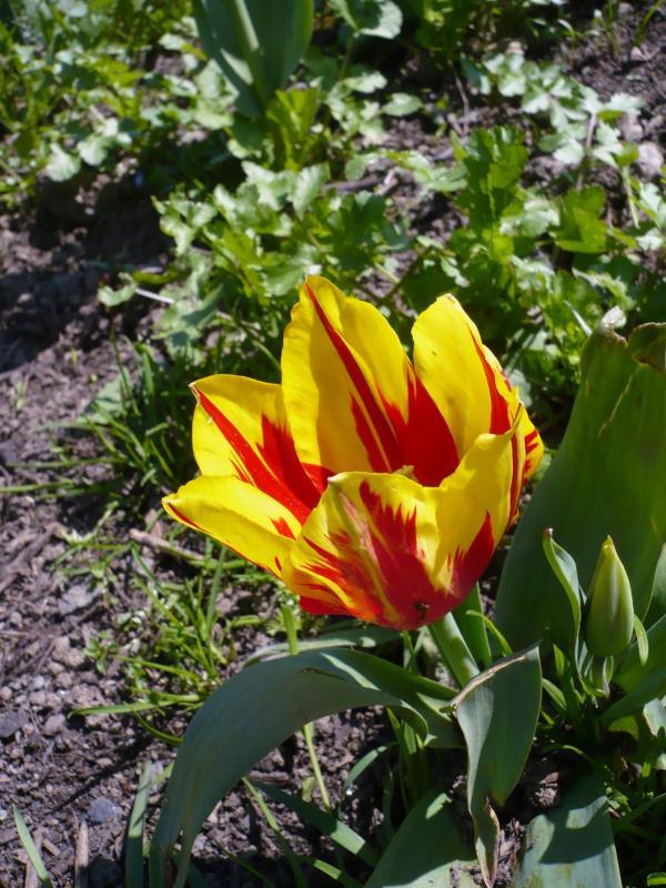 les tulipes du jardin le blog de titanique. Black Bedroom Furniture Sets. Home Design Ideas