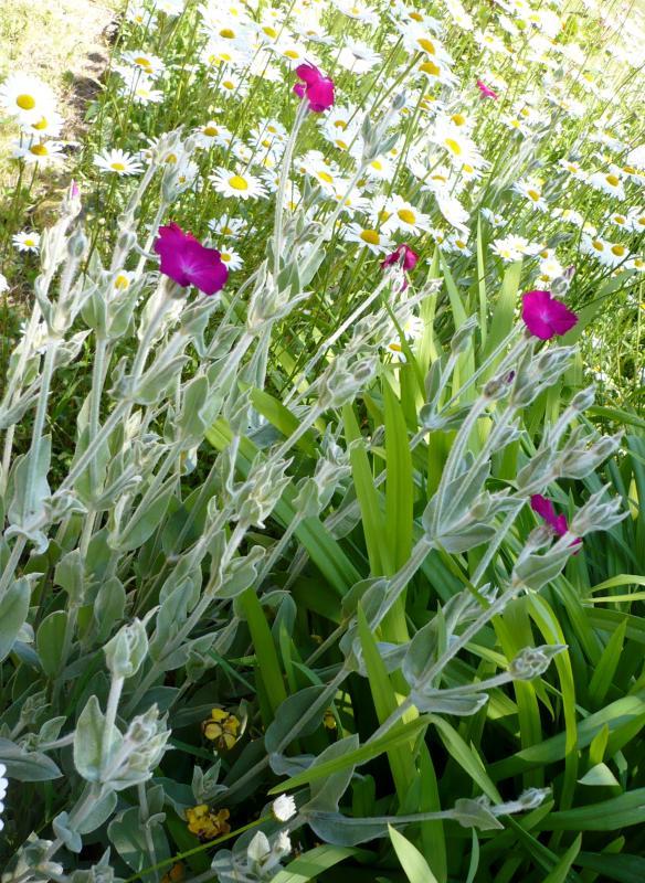Quelque fleurs au jardin le blog de titanique for Fleurs thes au jardin