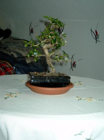 mon bonsai garden of france. Black Bedroom Furniture Sets. Home Design Ideas