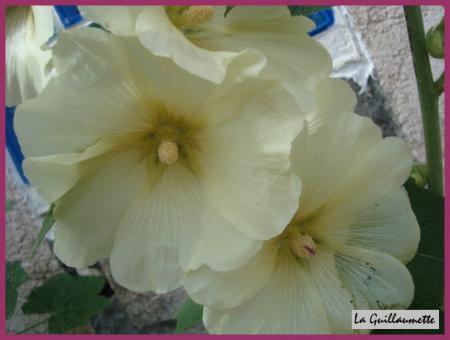 Nos roses tr mi res la guillaumette - Semer roses tremieres septembre ...