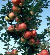 Fiche pratique : les arbres fruitiers