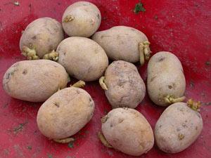 Pomme de terre plant et c leri fran ais cuisine simple - Faire germer des pommes de terre ...
