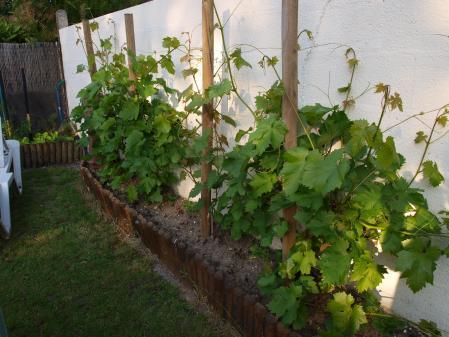 Ma petite vigne ou je suis n e landelles - Acheter pied de vigne ...