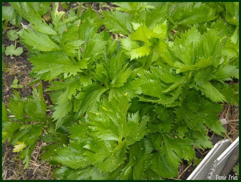 Au jardin une petite recolte le bonheur est ph m re - Bettes au jardin ...