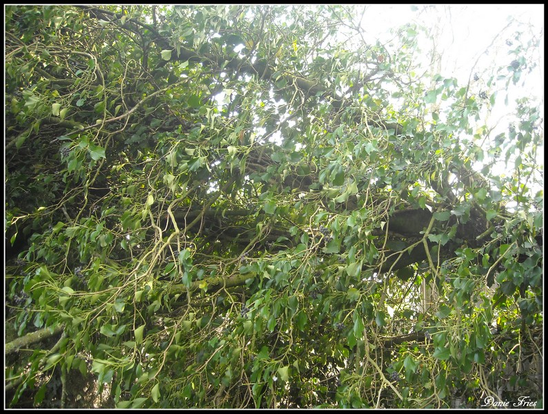 dans la haie du bout du jardin de quoi faire aussi pas mal de branches se sont retrouves aussi emportes par le vent - Quoi Faire Au Jardin