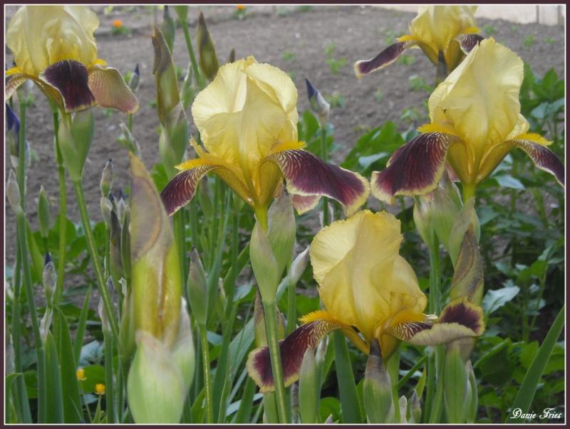 Mes iris le bonheur est ph m re - Iris ne fleurissent pas ...