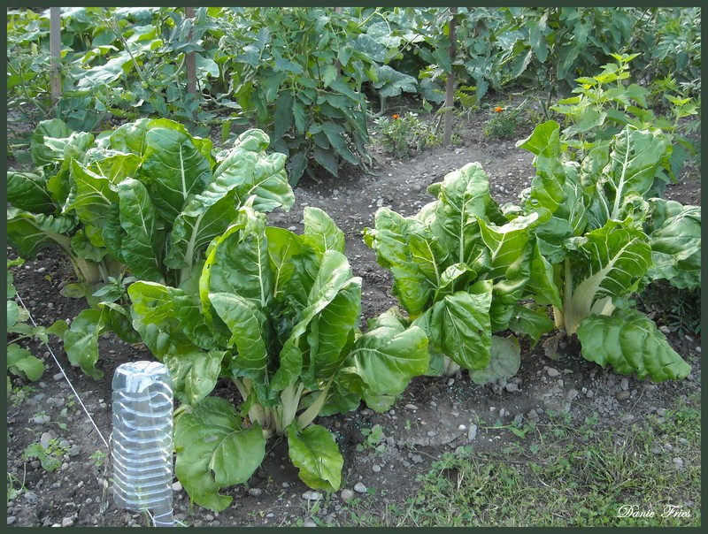 Un nouveau petit tour au jardin le bonheur est ph m re - Bettes au jardin ...