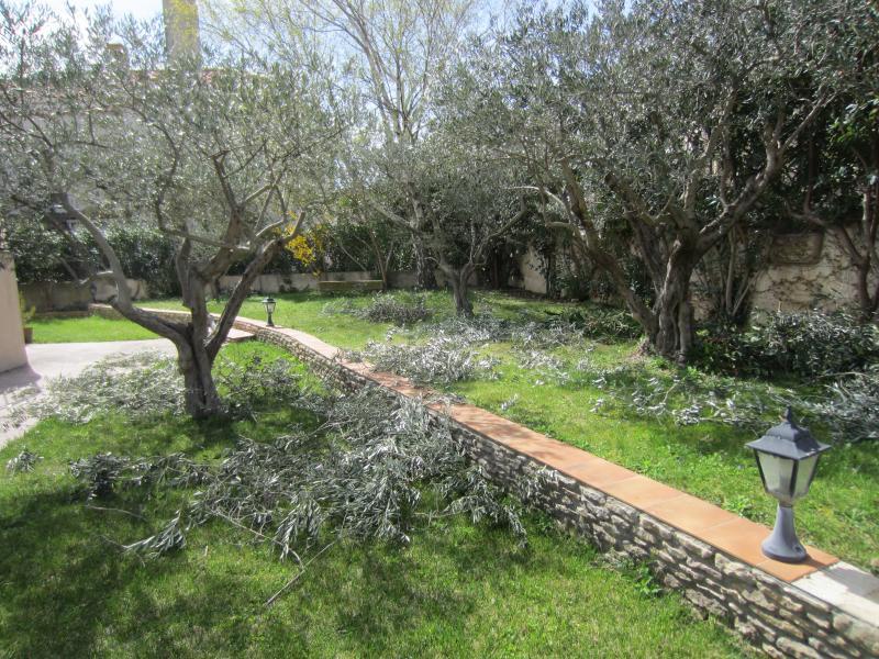 Taille des oliviers en provence et ailleurs - Jardin taille olivier ...
