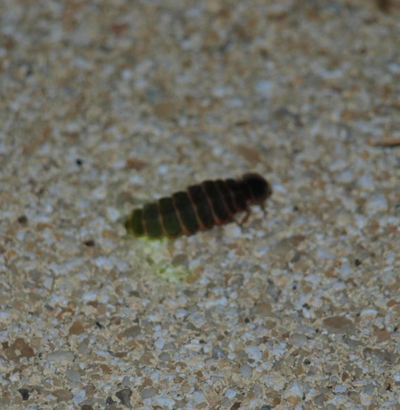 Insecte qui mange le bois le lycte brun meubles anciens for Bete qui mange le bois