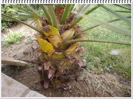 Faut il couper les fleurs de palmier