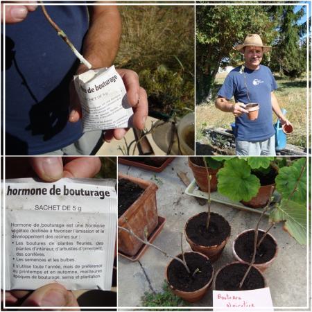 19 septembre 2010 la suite des boutures de roger la guillaumette - Hormone de bouturage maison ...