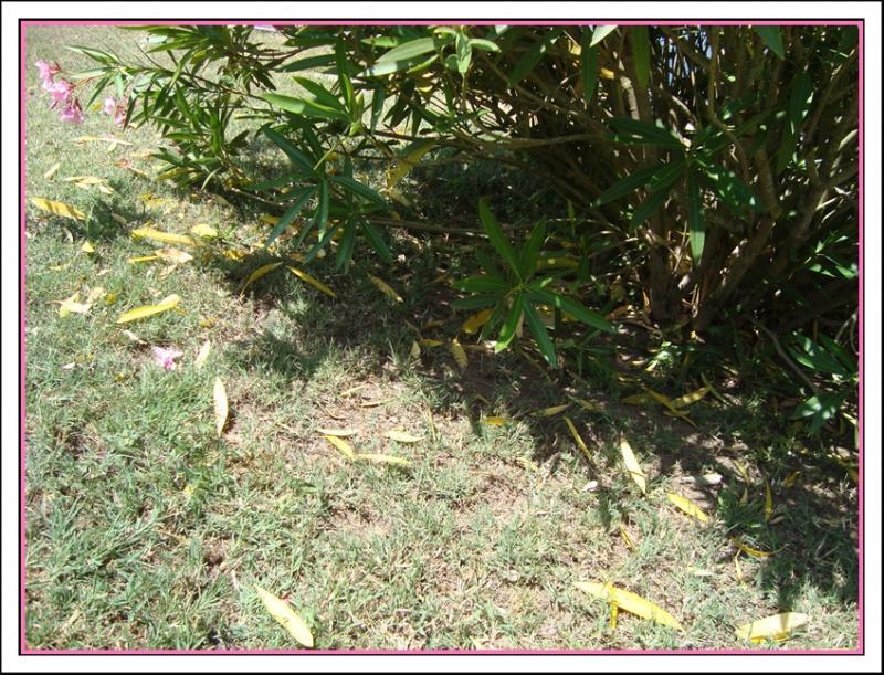A propos du laurier rose 31 mai 2011 la guillaumette for A propos du jardin