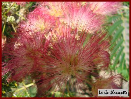 L 39 albizia ou arbre soie ou acacia de constantinople la for Acacia de constantinople prix