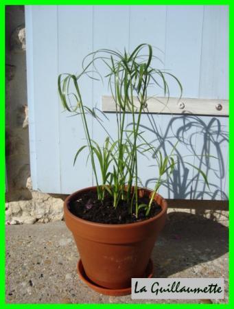 planter bouture papyrus