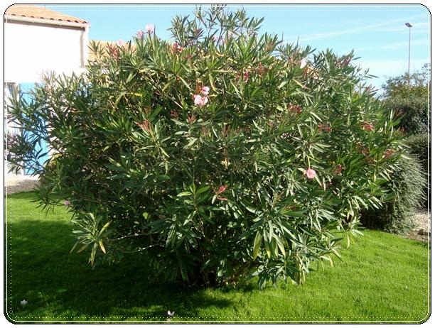 Le laurier rose 30 avril 2012 la guillaumette - Taille des lauriers roses en pot ...