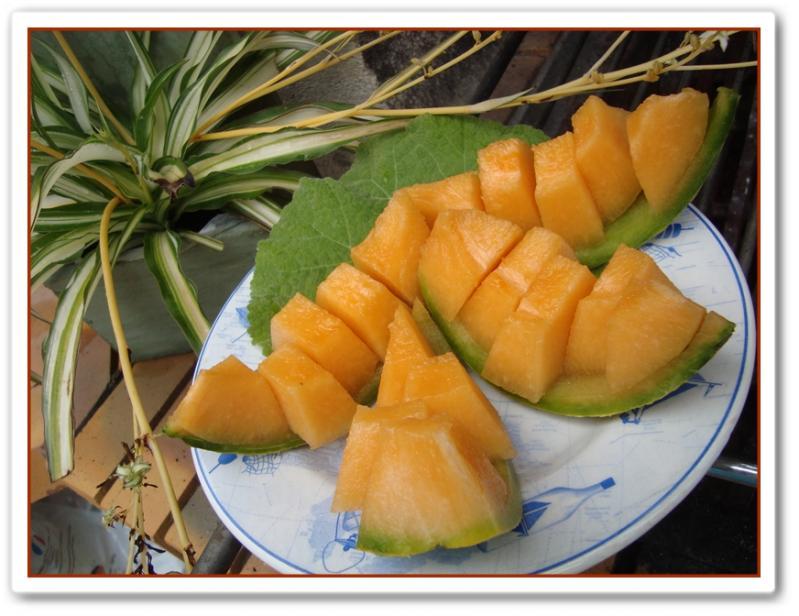 Le premier melon de la motte 18 juillet 2011 la guillaumette - Quand recolter les melons ...