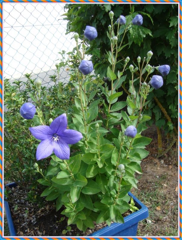 """Les fleurs """"ballon"""", 12 juin 2011 - LA GUILLAUMETTE"""