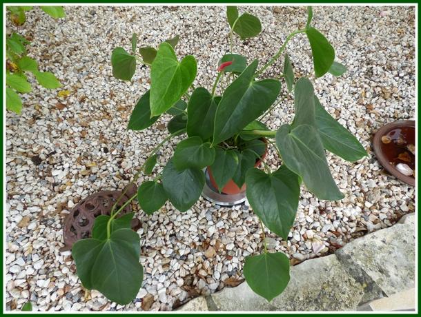 Mon anthurium 7 novembre 2014 la guillaumette for Yuka plante exterieur