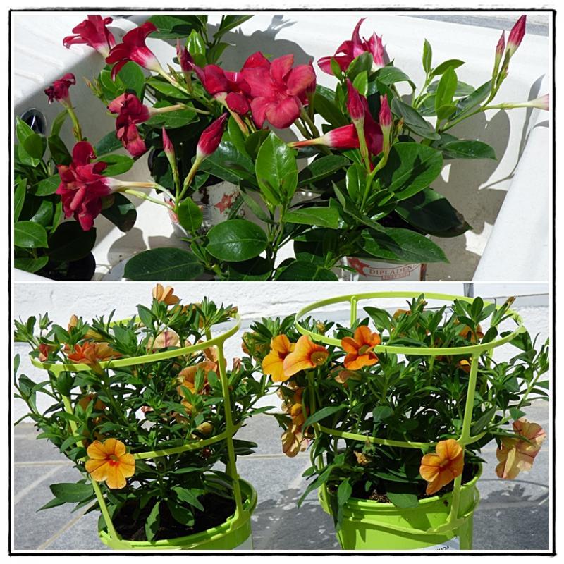 rempotage hibiscus en pot