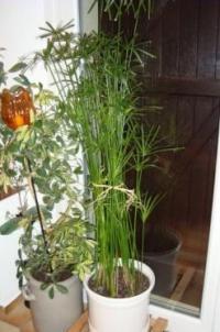 Bouturage de papyrus russissez vos plantations avec les for Conseil sur les plantes