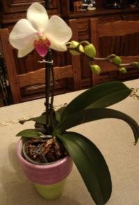 entretenir une orchid e les fiches pratiques sur les fleurs et les arbustes avec les conseils. Black Bedroom Furniture Sets. Home Design Ideas