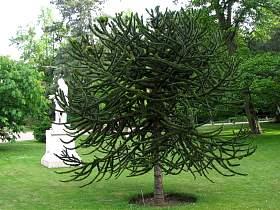L 39 araucaria ou arbre singe les fiches pratiques sur for Sapin d ornement jardin
