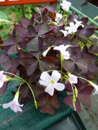 l 39 oxalis plante pour jardini res et suspensions les fiches pratiques sur les fleurs et les. Black Bedroom Furniture Sets. Home Design Ideas