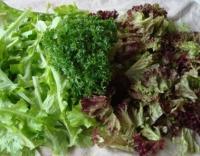 La laitue couper ou feuille de chne ou frise rouge les for Entretien salade jardin