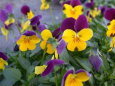 La pens e petites fleurs ou viola cornuta les fiches pratiques sur les fleurs et les - Pensee fleur vivace ou annuelle ...