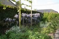 taille d 39 entretien de la glycine entretenez vos plantes et votre jardin avec les conseils d. Black Bedroom Furniture Sets. Home Design Ideas