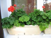 bouturage de g raniums r ussissez vos plantations avec les conseils d entretien du jardin et. Black Bedroom Furniture Sets. Home Design Ideas