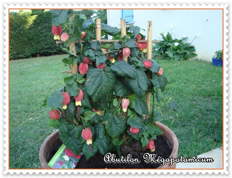 L 39 abutilon mgapotamicum ou lanterne chinoise les for Plante japonaise pour jardin