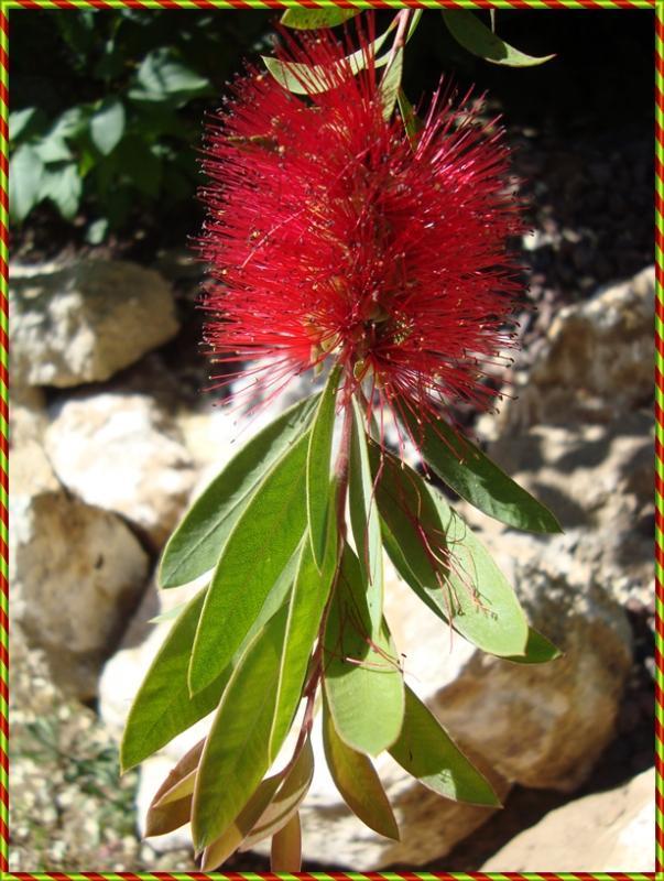 Le callistemon ou plante goupillon ou rince bouteilles for Conseil sur les plantes