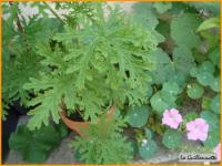 le g ranium odorant les fiches pratiques sur les fleurs et les arbustes avec les conseils d. Black Bedroom Furniture Sets. Home Design Ideas
