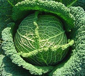 Le chou de savoie cuisine simple - Comment cuisiner un choux vert ...