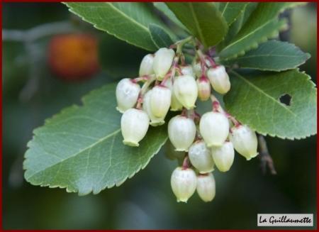 La gel e d 39 arbouses la guillaumette - Fruit de l arbousier ...